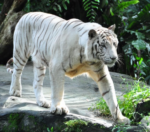 White tiger Michael Gwyther-Jones/Flickr